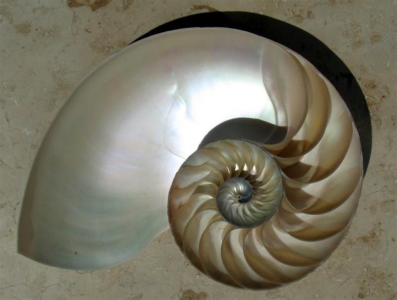 NautilusCutawayLogarithmicSpiral (Medium)2